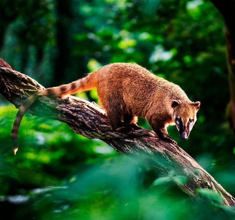 Manu Jungle Trip Reserve Zone 5d 4n coaties Andean Hikers Peru